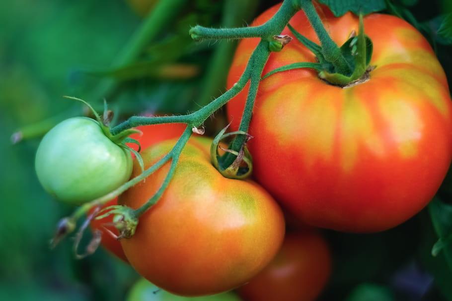 Menace sur la tomate