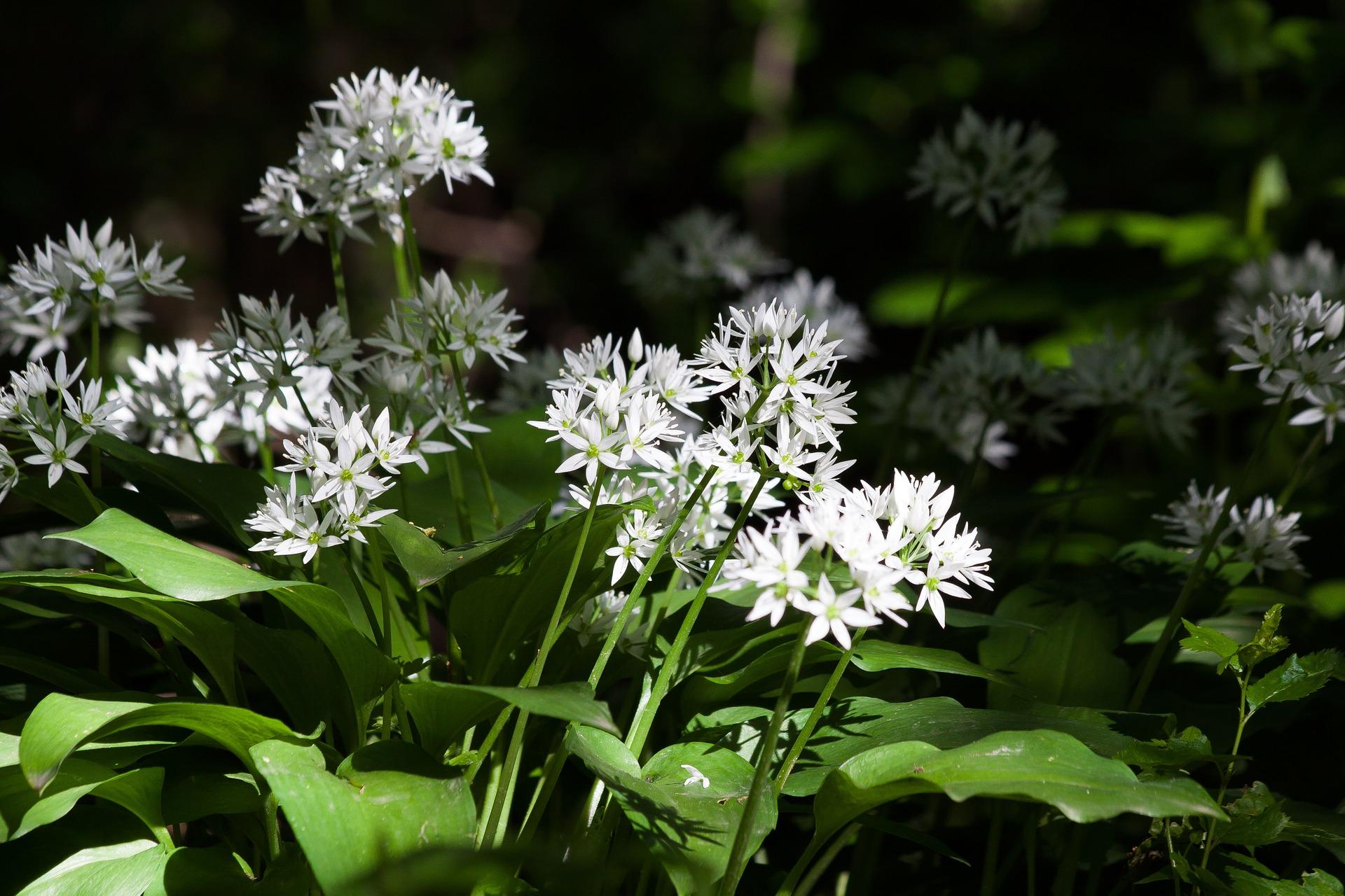 Des plantes sauvages comestibles au printemps !