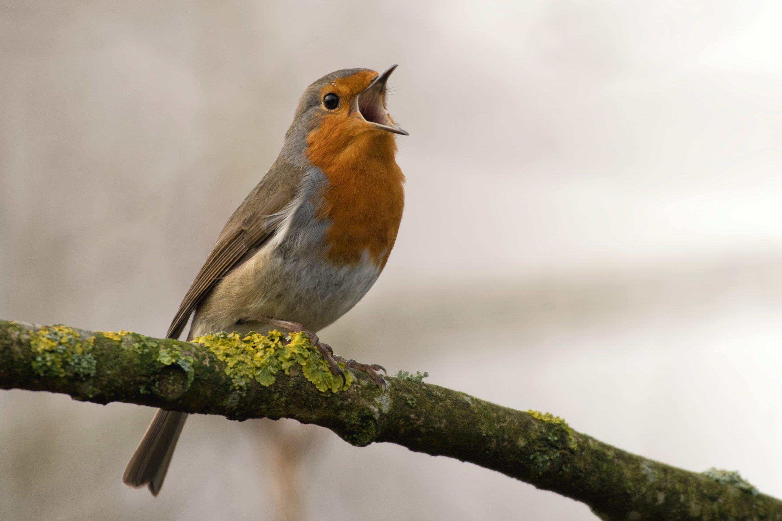 Participez au comptage des Oiseaux dans votre jardin !