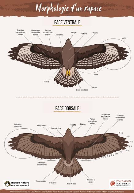 Morphologie d'un rapace - silhouettes faces ventrale et dorsale